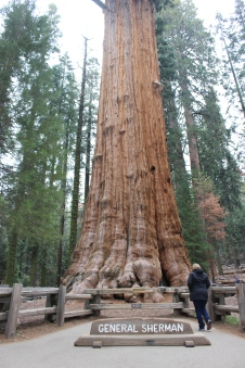 The General Sherman Tree - largest tree in the world and not easy to get in one shot.